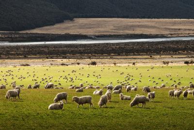 sheep_shearing_application